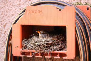 Vogel brütet im Wassersckhlauch-Kasten